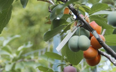 Here Is Diversity For You – 40 Fruit Trees In One!